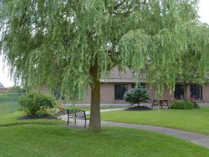 Large Willow tree and walkway at the back of building during summer